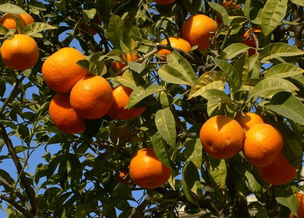 frukt-apelsin